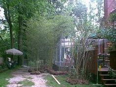 Large Bamboo Specimen Plants from Lewis Bamboo.