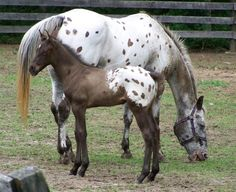 Grulla Appaloosa Colt With Blanket and Spots