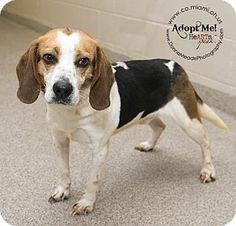 Troy, OH - Beagle. Meet Tonka a Dog for Adoption.
