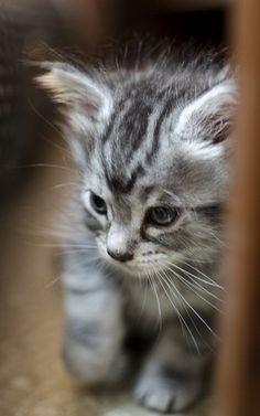 Beautiful blue eyed tabby kitten cuteness pinterest grey tabby maine coon beautiful kitten picturesg spiritdancerdesigns Images