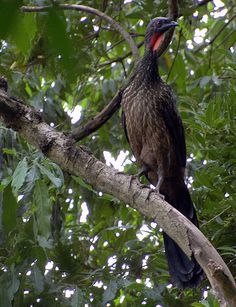 Dusky-legged Guan (Penelope obscura) is a species of bird in the Cracidae family, the chachalacas, guans, and curassows. It is found in southernmost Brazil, northern Uruguay, Paraguay, and northeastern Argentina; a narrow disjunct range is in northern Argentina extending into south-central Bolivia.