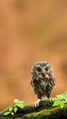 Wallpaper | Adorable baby northern saw-whet owl