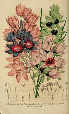 164768 Ixia maculata L. / La Belgique horticole, journal des jardins et des vergers, vol. 9: p. 97, t. 7, fig. 9-11 (1859)