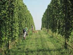 Bine country is hoppin' | Climbing Bines Hop Farm - Seneca Lake