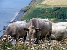 Cows on the coast path