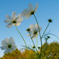 Flower Garden (prettylittleflower: White cosmos dancing in the...)