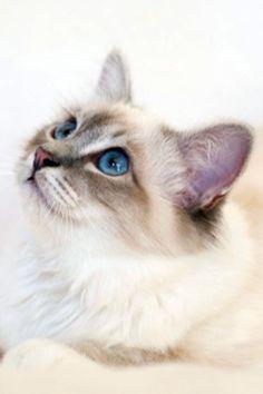 Cats and Kittens by SábaCat Birman Beauty Cattery, Cats And Kittens, Animals, Beauty, Animales, Animaux, Animal, Animais, Serval Cats