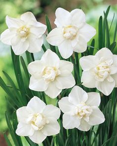 ~Daffodil, Snowball