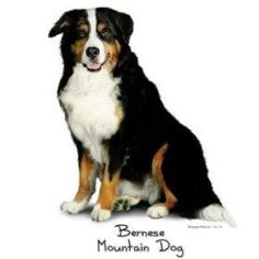 Google Image Result for http://www.metpet.com/Reference/Dogs/DogBreeds/Dog%2520Breed%2520Images%2520AA/BerneseMountainDogSit.jpg