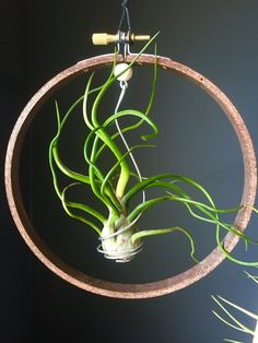 A Mantis Compos-Twin Evaluate - Improved Composting While In The City Setting Mixed Air Plant Set Gift Idea Hanging Tillandsia Etsy Types Of Air Plants, Air Plants Care, Types Of Succulents, Air Plant Display, Plant Decor, Hanging Air Plants, Indoor Plants, Hanging Flower Pots, Decoration Plante