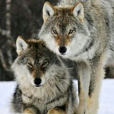 Twins salt & pepper wolves