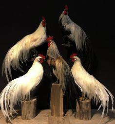 Beautiful taxidermy Onagadorie rooster - Decoration Taxidermy - De Jong Interieur