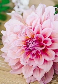 A fiercely gorgeous pink dahlia.
