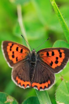 Orange & Brown Butterfly