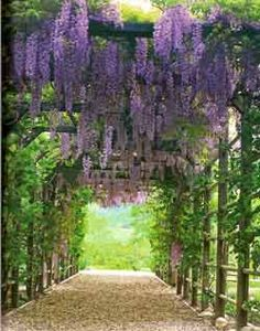 wisteria on pergola.  TIP: If you want wisteria, but not as a vine, nurseries are selling them as trees. It also comes in white.