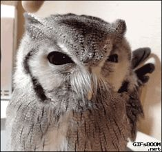 Even more owl gifs are needed - Album on Imgur