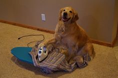 This pooch ironing a shirt for a job interview (probably). | 61 Images Of Animals That Are Guaranteed To Make You Smile