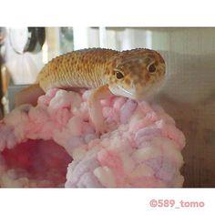 おはようございます✨ 上もふかふかで居心地いいようです☁️ #leopardgecko #ヒョウモントカゲモドキ #レオパードゲッコー #爬虫類 #かわいい #いやし