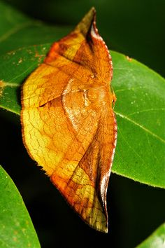 Winged Leaf Moth