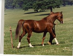 Diamond Star, 1974 stallion (Indian Star x Dalika).  100% Crabbet.  Sire of Aboud