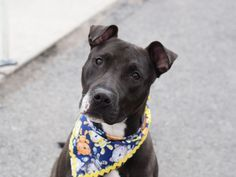 MASON – A1073257 - located at the Brooklyn Center in New York - 1 year old Male…