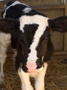 Lucky number seven: we had a couple calves born with a 7 on their foreheads to a cow with a 7 on her forehead growing up on the farm Animals And Pets, Funny Animals, Cute Animals, Beautiful Creatures, Animals Beautiful, Unusual Animals, Fluffy Cows, Baby Cows, Baby Farm Animals