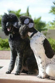 Sweet secrets between this gorgeous pair of poodles...