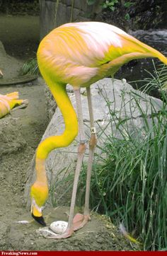 Rare Yellow flamingo