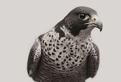 falcon_02