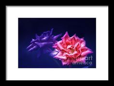 Two Roses Framed Print By Charuhas Images