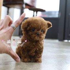 77 Best Teacup poodle puppies images in 2019 | Cute baby