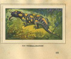 Vuur salamander - Zeewater aquarium en terrarium geillustreerd door Jac.J.Koeman, 1930