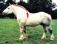 The Percheron Draft Horse is from France and is used to pull heavy loads. Clydesdale, Percheron Horses, Andalusian Horse, Breyer Horses, Arabian Horses, Draft Horse Breeds, All Horse Breeds, Draft Horses, Big Horses