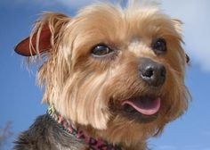 Adopt Cassie, a lovely 9 years 2 months Dog available for adoption at Petango.com. Cassie is a Terrier, Yorkshire and is available at the National Mill Dog Rescue in Colorado Springs, Co. www.milldogrescue... #adoptdontshop #puppymilldog #rescue #adoptyourfriendtoday