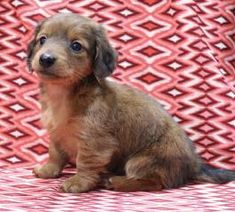 Mini Puppies, Puppies For Sale, Dogs And Puppies, Mini Long Haired Dachshund, Dachshund Breeders, Lancaster Puppies, Miniature Dachshunds, Animals, Animales