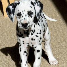 Dalmatian puppy!! my dreim dog
