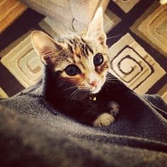 Cute Little Kittens Hanging Around in Pockets Puppies And Kitties, Funny Cats And Dogs, Cats And Kittens, Kitty Cats, Fat Cats, Baby Animals, Funny Animals, Cute Animals, Cute Little Kittens