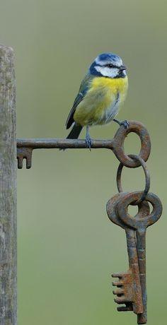 Blue Tit on Gate Keys by Dean Mason