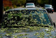 Hailstorm-shredded leaves coated a truck along Harvard Ave and Fillmore St. in southeast Denver last Wednesday.