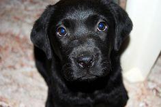 Cachorro labrador negro