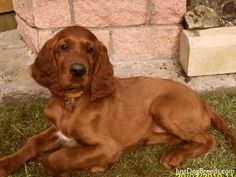 Murphy - Irish Setter - Dog Breeds
