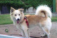 himalayan sheepdog - Google Search