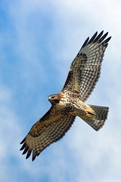 Red Tail Hawk | (by: Randall Ingalls)*