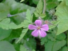 Geranium robertianum (napraznic)