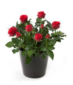 Plantas que Evitam o Mau-Olhado 6
