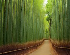 The Bamboo Forest at Arashiyama Park, located in Kyoto, Japan