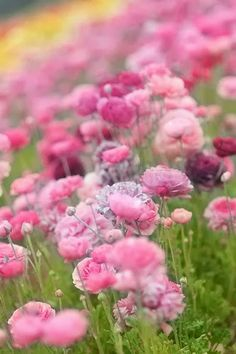 Nature Photography: Field of Pink Flowers