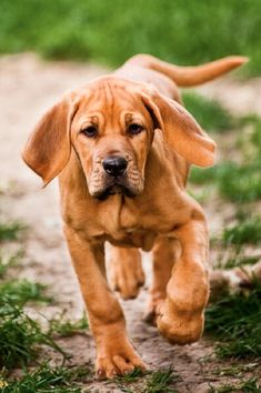 A young Redbone Coon Hound....a beauty!