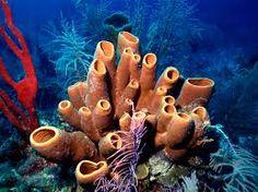 esponjas de mar - Pesquisa Google