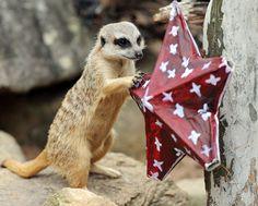 merry christmas, little meerkat!